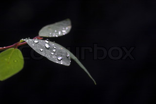 leaves and water drops on black background