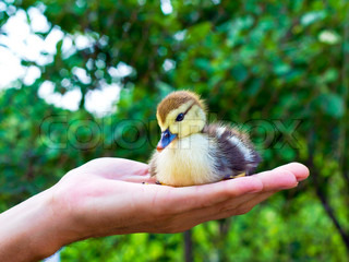 small yellow and black duck in the man's hand