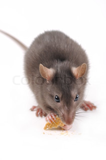 rat with cookies on a white background