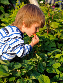 Young boy eating strawberries directly from the garden