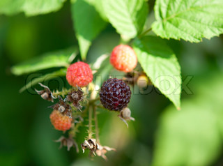 raspberries growing in the garden