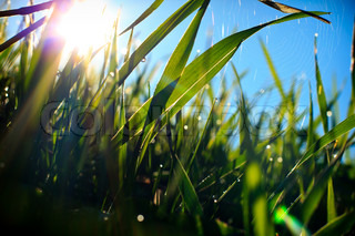 Grass and spider web, covered with morning dew in sun-rays.