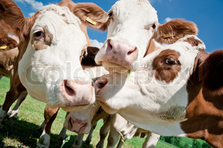 Close up of some simmental cow faces