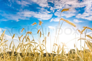 Ripe wheat spikes in the field against blue sky