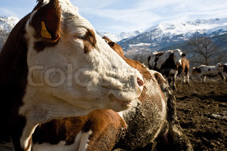 ©James Hardy/AltoPress/Maxppp ; Cow looking away