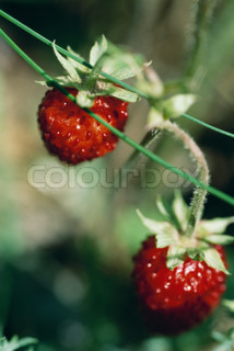©Laurence Mouton/AltoPress/Maxppp ; Strawberries growing