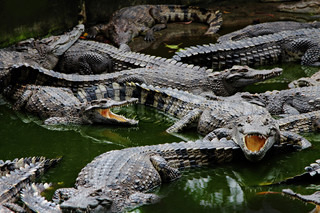 Crocodiles close-up in thailand zoo