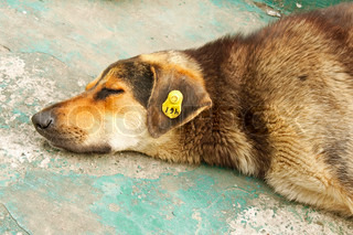 A head of castrated rambling dog labeled in the ear