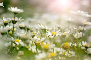 Close-up photograph of sun shining on a field of white daisies.