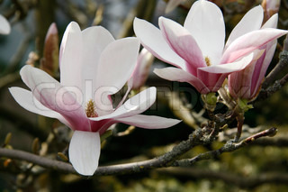 Close up of blooming magnolia