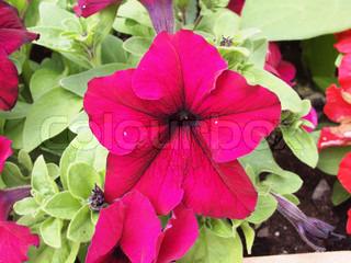 Nærbillede af en lyserød petunia arrangement i haven