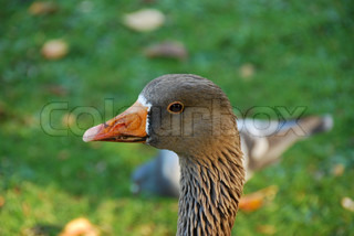 Close up of graylag goose (anser anser) with orange beak on green meadow background