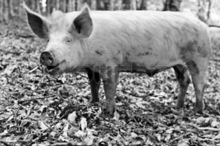 Laughing piglet of the forest,animal above-ground on a farm