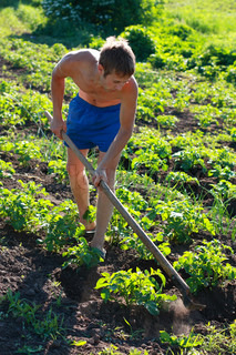 A young man weeding the beds with potatoes. Sunny morning