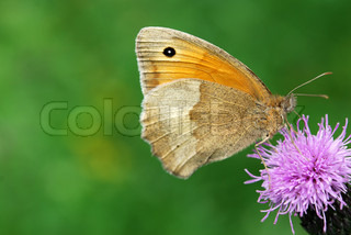 small heath butterfly on a thistle