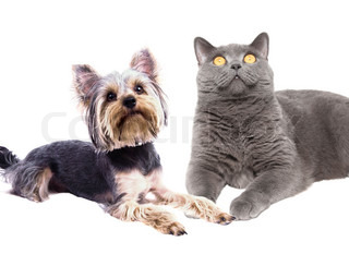 dog terrier and a British cat sitting together
