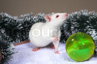 small white rat smeling green christmas bal