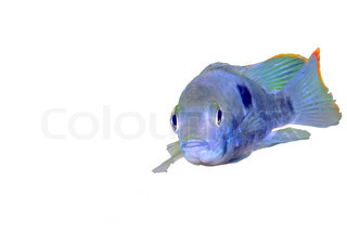 africa, amazon, angelfish, animal, apistogramma, aquarium, aquatic, bubble, cichlid, colorful, coral, decoration, diving, duckweed, dwarf, exotic, fins, fish, fishbowl, fishes, flippers, gold, golden, goldfish, goldfishes, green, hobby, inhabitant, lagoon,