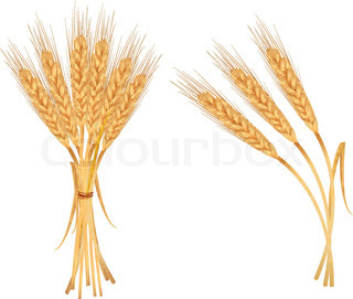 Some ears of wheat and ribbon. Vector.
