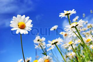 Sommer felt med hvide margueritter på blå himmel