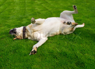 labrador retriever on fresh grass
