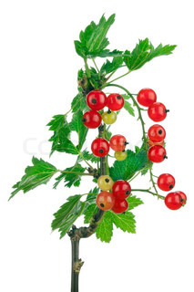 red  currant berries  on branch with leaves  isolated
