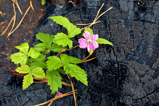 Pink flower that grows on a burnt tree stump