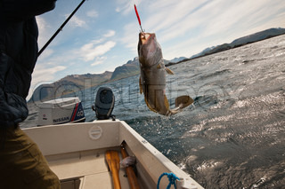 Fishing for cods