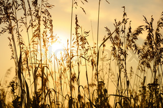 Silhouettes of grass on sunset background