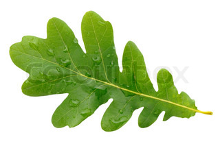 Oak green leaf with water drops isolated on white background
