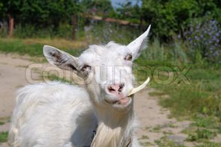 white goat chewing the cabbage on a background of grass