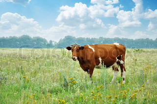 cow on a summer meadow in a sunny day