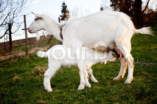 Goat and goatling is suckling the mom on graze