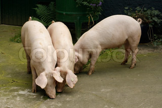 Young hogs on a farm - outdoor shot