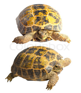 two turtles on a white background