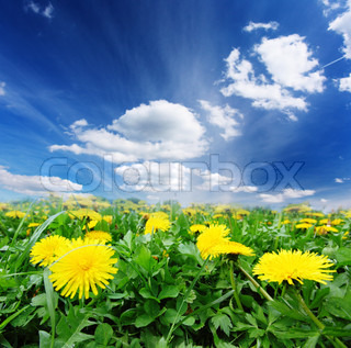Field of dandelions, blue sky and sun.