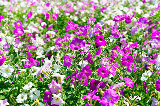 image petunia flower beds of white and purple