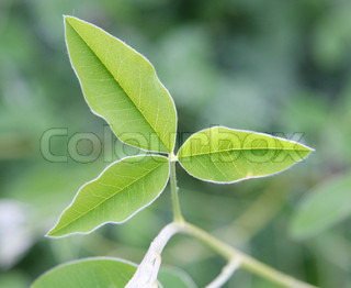 Three-leaf plant (against the green background)