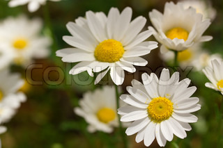 Close-up photograph of white daisies at a daisy field.