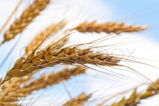 wheat macro on natural background
