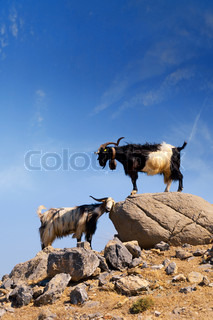 two mountain goats with big horns on the rocks against the blue sky
