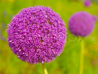blooming blauen allium giganteum runde form blume stock foto colourbox. Black Bedroom Furniture Sets. Home Design Ideas