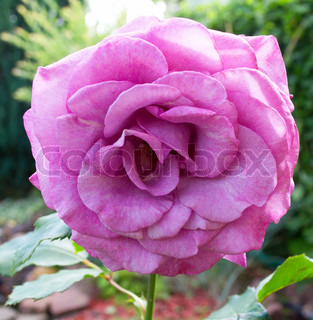 purple rose in the garden