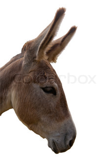 Headshot of a sad donkey isolated on white background