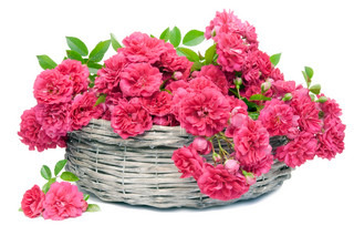 Many Pink fresh garden roses with buds and leaves in basket  isolated