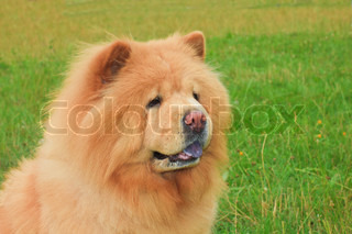 close-up portrait of a dog chow-chow breed, shallow depth of field