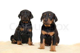 Two sweet puppies posing on white background.