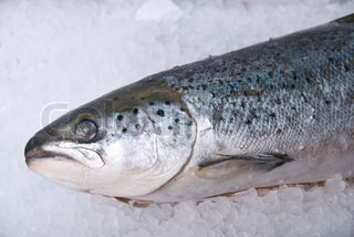 coolled fresh bright trout fish on ice background