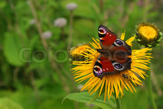 insects on a yellow inula flower