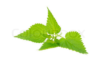 Stinging Nettle (Urtica Dioica) Isolated on White Background